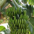 LOGO_Banana
