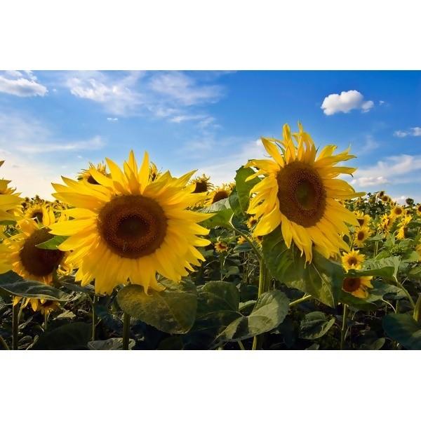 LOGO_Grain / Pulses / Oilseeds