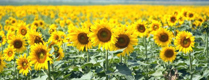 LOGO_HO-Sonnenblumen
