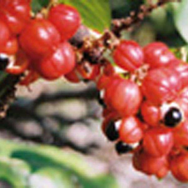 LOGO_Guarana(seeds and powder), Paullinia cupana var. sorbilis