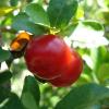 LOGO_Acerola, Malpighia glabra extract
