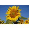 LOGO_Sonnenblumen