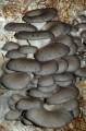 LOGO_Fresh organic oyster mushrooms