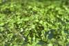 LOGO_Organic Buchu Leaf
