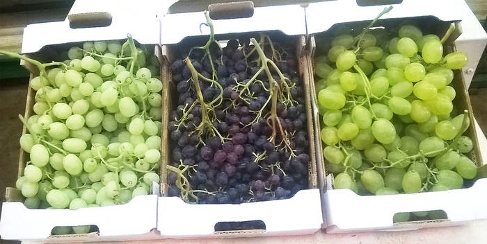 LOGO_Table Grapes (Vitis vinifera L.)