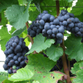 LOGO_Grape red/white