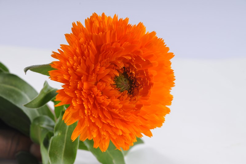 LOGO_Organic Calendula Flowers