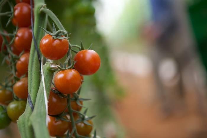 LOGO_Tomato