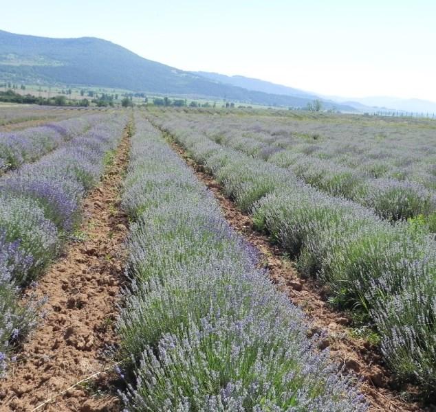 LOGO_Lavender Oil