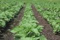 LOGO_buckwheat, buckwheat groats, buckwheat groats ground