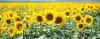 LOGO_HO-sunflower