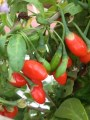 LOGO_Bio-Gojipflanzen