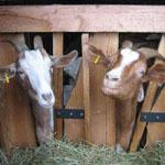 LOGO_Schaf- und Ziegenhaltung