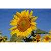 LOGO_Sunflowers