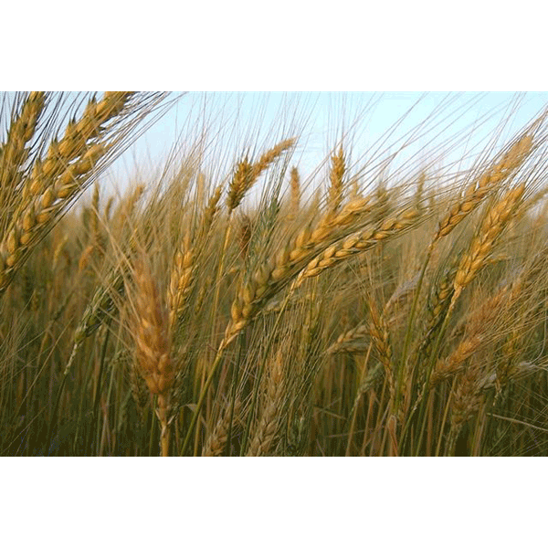 LOGO_Wheat