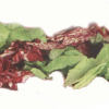 LOGO_Salatmischung