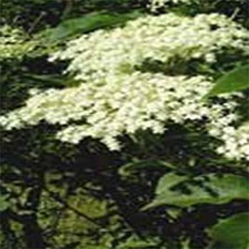 LOGO_Elderflower