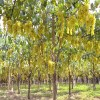 LOGO_Table Grapes