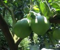 LOGO_Fresh pomelos