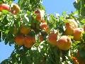 LOGO_Stone Fruit (peach, apricots...),