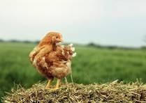 LOGO_Danish organic chicken