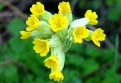 LOGO_Medicinal plants (arnica montana, primula officinalis)