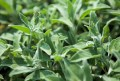 LOGO_Aromatic Herbs
