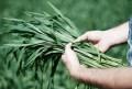 LOGO_Wheatgrass Powder