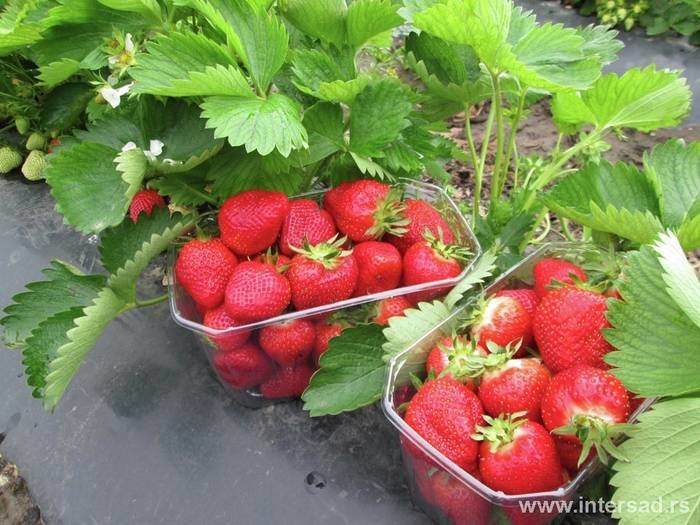 LOGO_organics of strawberries