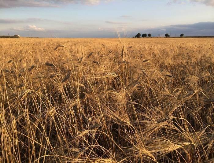 LOGO_Bio Wheat KHORASAN SANTACANDIDA®
