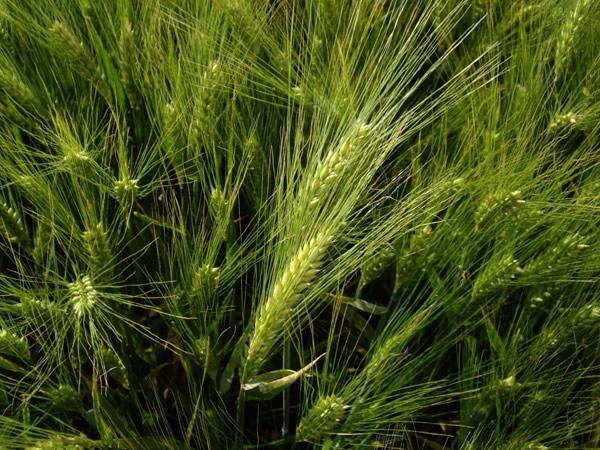 LOGO_Malting barley