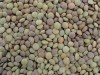 LOGO_Chinese Lentils/Green Lentils (LT-004)