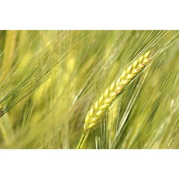 LOGO_Malting Barley GRACE