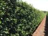 LOGO_Prunus lusitanica Angustifolia