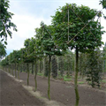 LOGO_Topiary and espalier trees