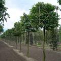 LOGO_Form- und Spalierbäume