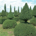 LOGO_Immergrüne Bäume