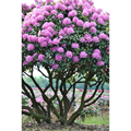 LOGO_Rhododendrons