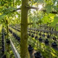 LOGO_ALLEEGRO® Containerbäume
