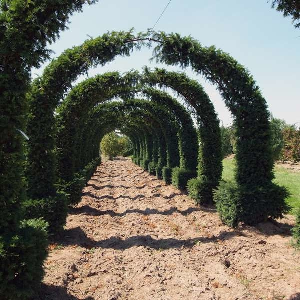 LOGO_Taxus baccata Topiary - Arches
