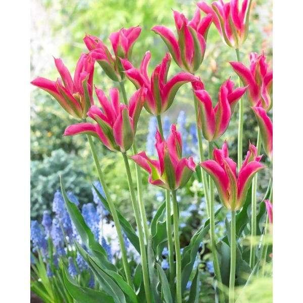 LOGO_Viridiflora  Tulpe Virichic