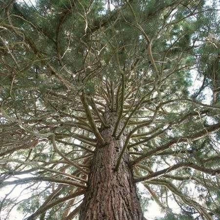 LOGO_Kalifornischer Mammutbaum