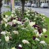 LOGO_Im Frühjahr blühende Blumenzwiebeln