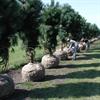 LOGO_Versandarbeiten Pinus nigra ssp. nigra Sol 5xv  mDb 150-200 x 300-350