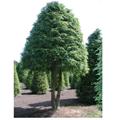 LOGO_Tsuga canadensis 'Schirmform', Sth: ca. 200 cm, ges. Höhe: 450-500 cm, ges. Breite: 250-300 cm