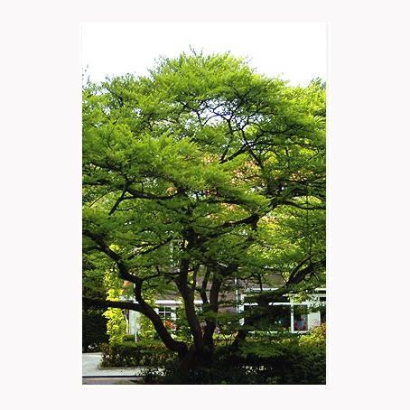 LOGO_Straßen/Alleen - Styrax japonicus