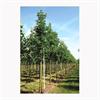 LOGO_Klimabäume - Platanus