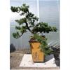 LOGO_Outdoor Bonsai