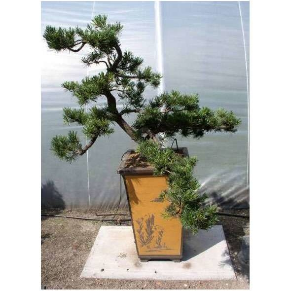 LOGO_Outdoor Bonsai