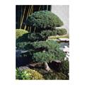 LOGO_Pinus Pentaphylla parviflora
